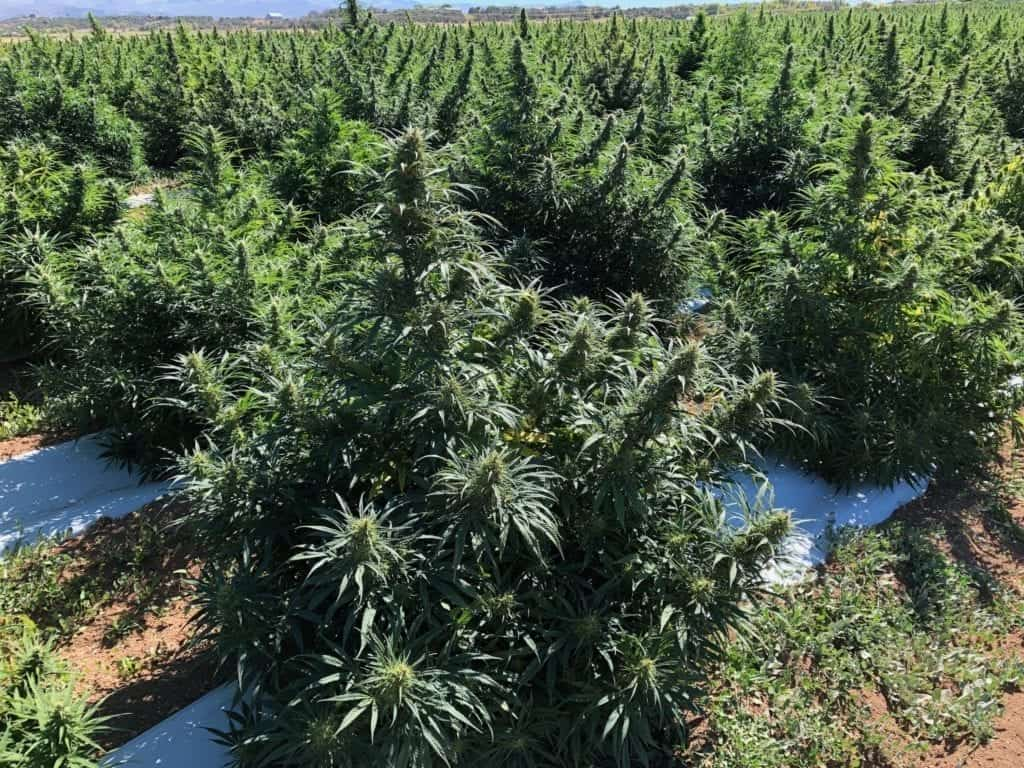 GLOBAL HEMP MANUFACTURER NICHE EXPORTS APPOINTS PAUL DEFRIES AS
